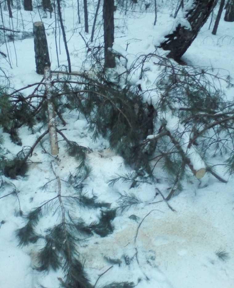 Перед Новым годом на «курганской Рублевке» вырубают сосны. «Лес напоминает поле битвы»