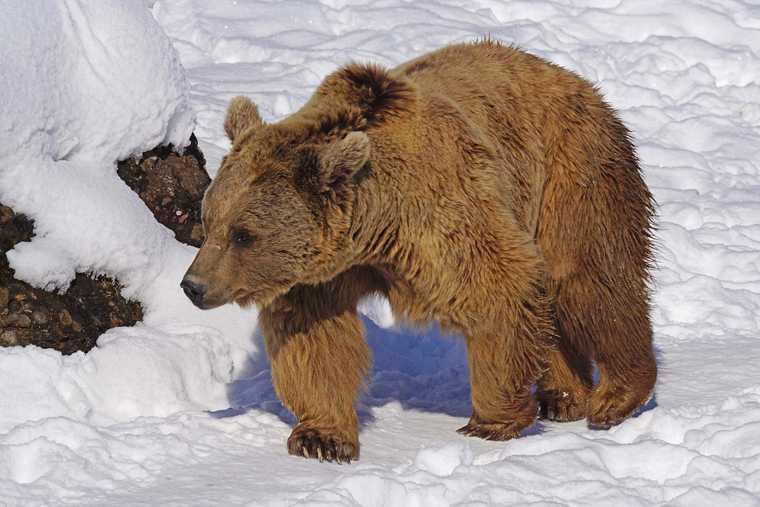 нападение медведицы