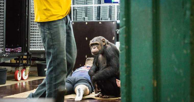сбежала обезьяна Асбест Свердловская область