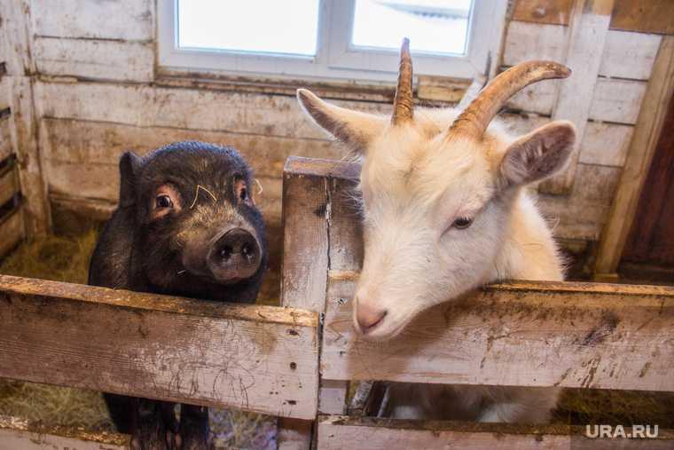 штрафы за нарушения правил разведения скота