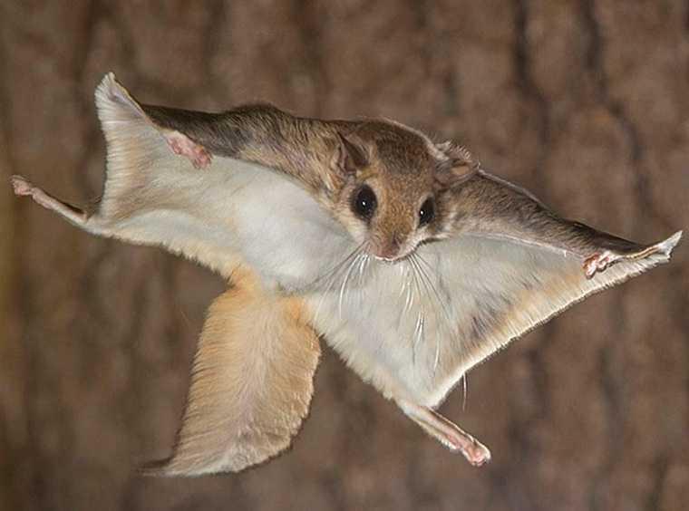 Зоолог из Екатеринбурга нашел в Курганской области летучих белок. Фото