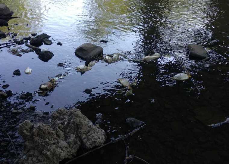 В челябинском городе в реке всплыла мертвая рыба. Фото