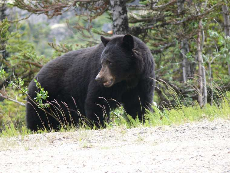 медведь Сургут улица Толстого и Крылова полиция патруль чиновники мэрия ХМАО